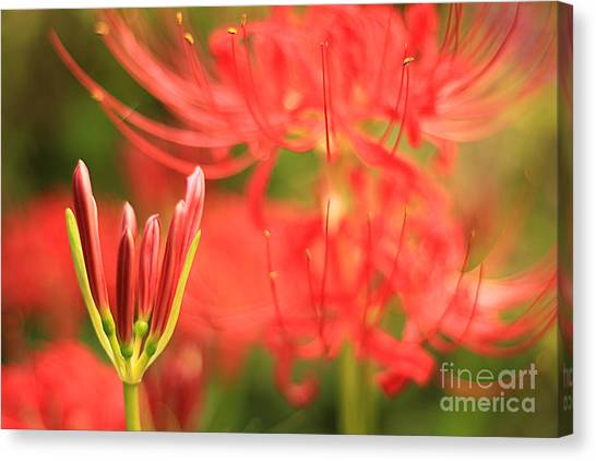 Beautiful Amaryllis Flower Red Spider Lily Aka Resurrection Lily Canvas Print