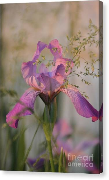 Beautiful And Mystical Iris  Canvas Print