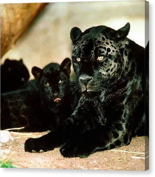 Panthers Canvas Print - Beautiful #blackpanthers #rp #family by Brandon Fisher