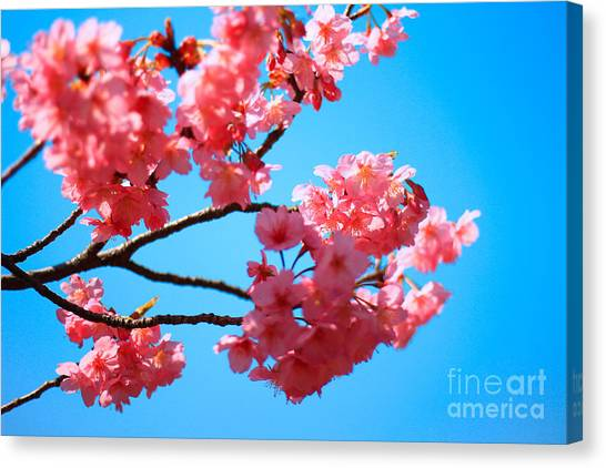 Beautiful Bright Pink Cherry Blossoms Against Blue Sky In Spring Canvas Print
