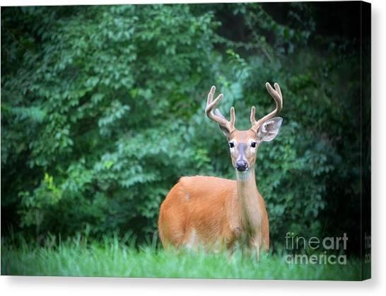 Beautiful Buck  Canvas Print