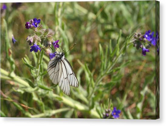 Beautiful Butterfly In Vegetation Canvas Print