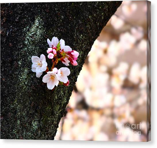 Beautiful Cherry Blossoms Blooming From Tree Trunk Canvas Print