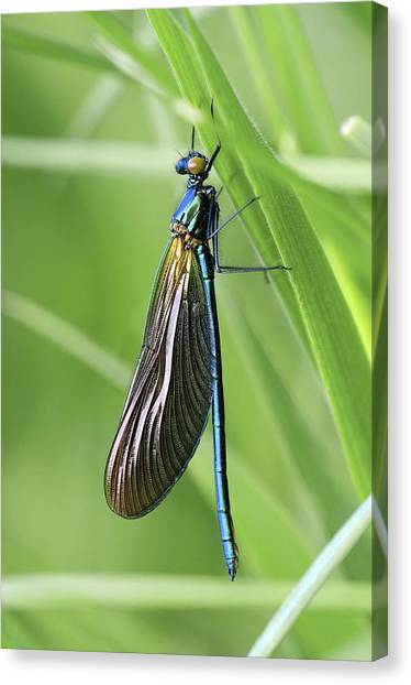 Demoiselles Canvas Print - Beautiful Demoiselle Damselfly by Science Photo Library