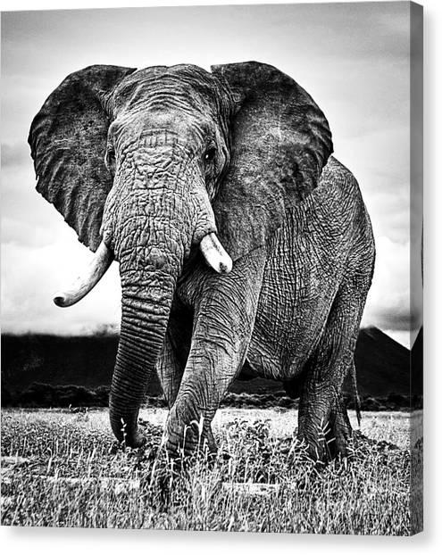 Beautiful Elephant Black And White 33 Canvas Print