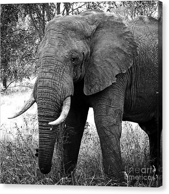 Beautiful Elephant Black And White 59 Canvas Print