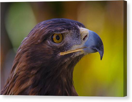 Golden Eagle Canvas Print - Beautiful Golden Eagle by Garry Gay