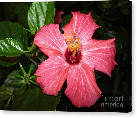 Beautiful Hibiscus Canvas Print