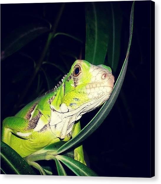 Iguanas Canvas Print - #beautiful #lizard #macro #garden by Jimmy Rock