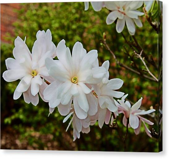 Beautiful Magnolias 2 Canvas Print by Victoria Sheldon