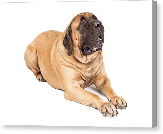 Mastiffs Canvas Print - Beautiful Mastiff Dog Laying by Susan Schmitz