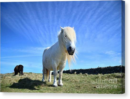 Beautiful Poney Grazing Near The Lizard - Cornwall Canvas Print by OUAP Photography