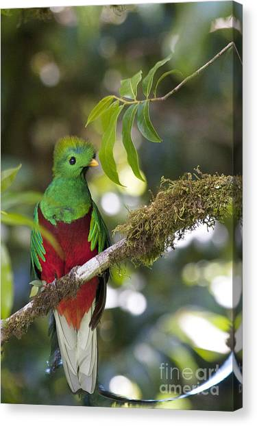 Beautiful Quetzal 1 Canvas Print