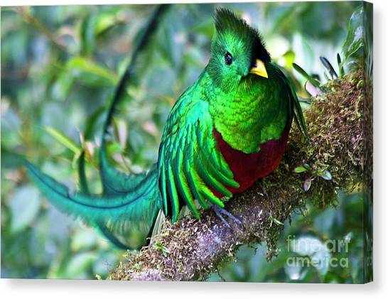 Cloud Forests Canvas Print - Beautiful Quetzal 4 by Heiko Koehrer-Wagner