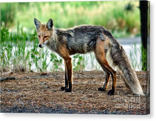 Bushy Tail Canvas Print - Beautiful Red Fox by Robert Bales