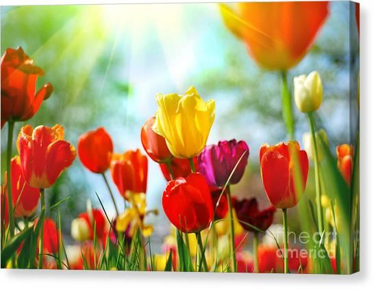 Beautiful Spring Tulips Canvas Print