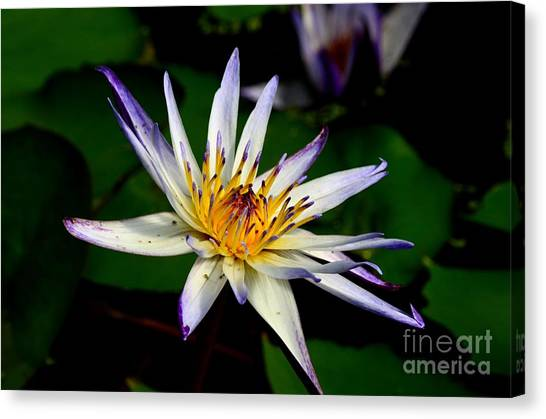 Beautiful Violet White And Yellow Water Lily Flower Canvas Print