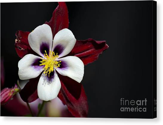 Beautiful White Petal Yellow Stamen Purple Shades Aquilegia Columbine Flower Canvas Print