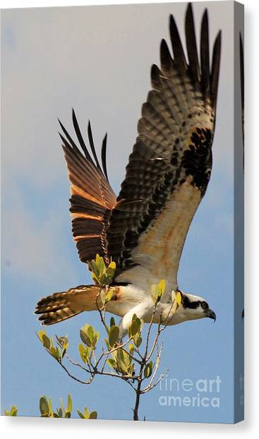 Osprey Canvas Print - Beautiful Wings by Quinn Sedam