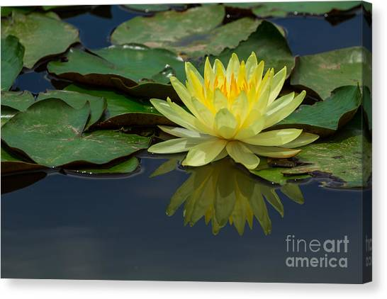 Beautiful Yellow Water Lily Canvas Print