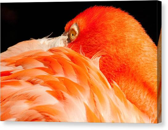 Beauty In Feathers Canvas Print