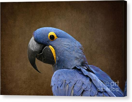 Beauty Is An Enchanted Soul - Hyacinth Macaw - Anodorhynchus Hyacinthinus Canvas Print