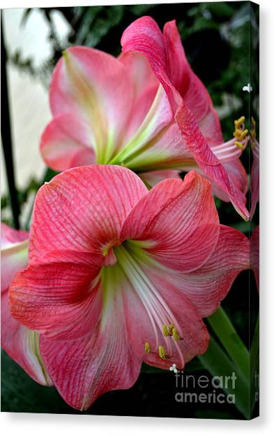 Beauty Of An Amaryllis Flower Canvas Print