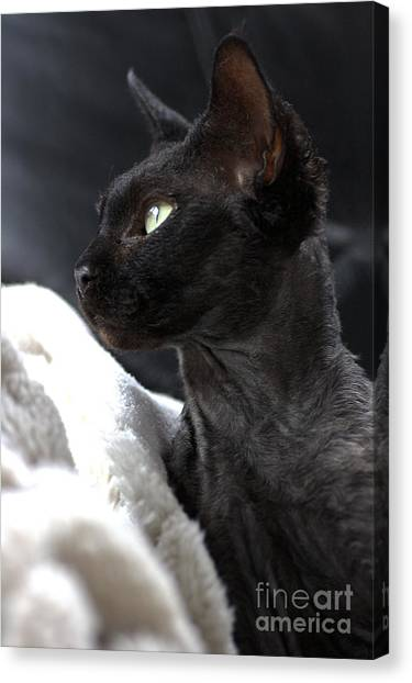 Beauty Of The Rex Cat Canvas Print