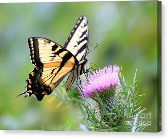 Beauty On Wings Canvas Print