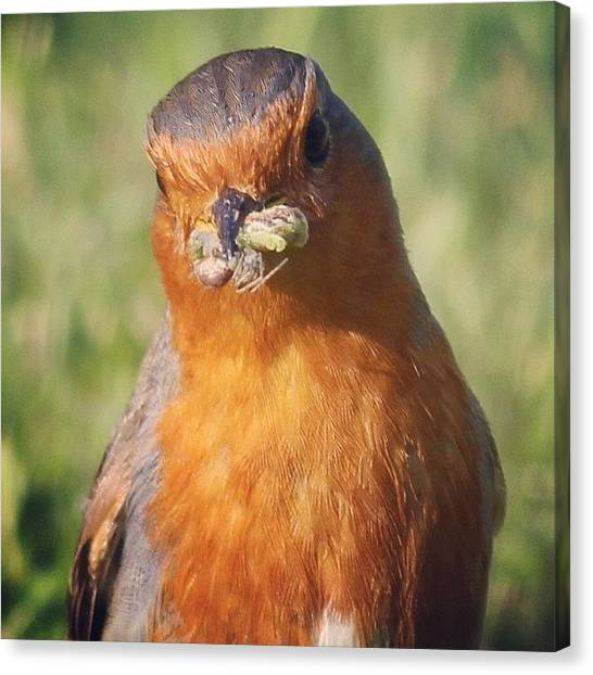 Robins Canvas Print - Beauty So Close #robin #sierra #outside by Unique Louise