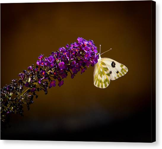Beckers On Butterfly Bush Sparks Nevada Canvas Print by Janis Knight