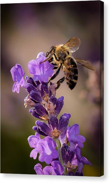 Honeybee Working Lavender Canvas Print