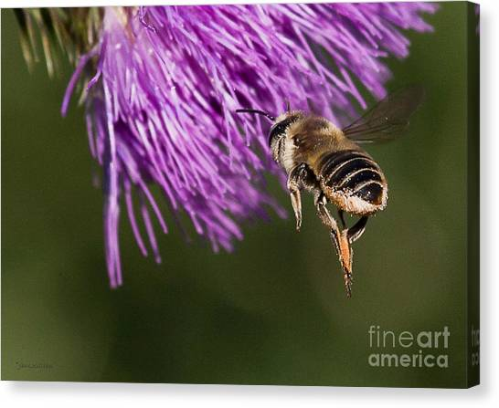 Bee Butt Canvas Print