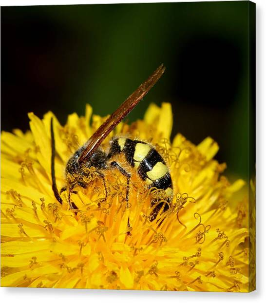 Bee Diving In Yellow Dandelion Flower Canvas Print