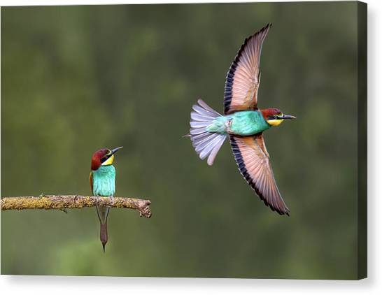 Bee-eater Going For Food Canvas Print by Xavier Ortega