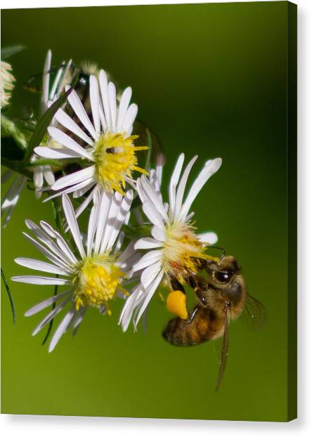 Bee Harvest Canvas Print