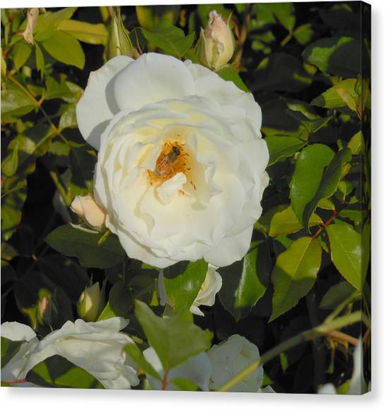 Bee In A White Rose Canvas Print by Kay Gilley