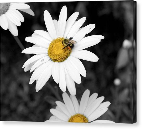 Bee On My Daisy Canvas Print by Kimberly Elliott