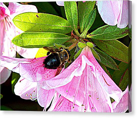 Bee On  Pink Azalea Canvas Print