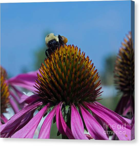 Bee On Purple Coneflowers Canvas Print