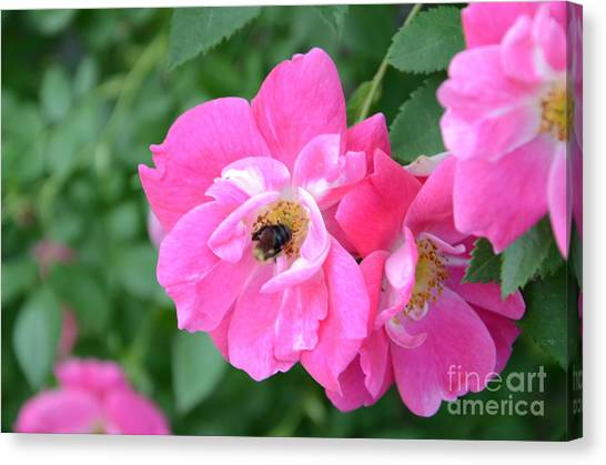 Bee Rosy Canvas Print