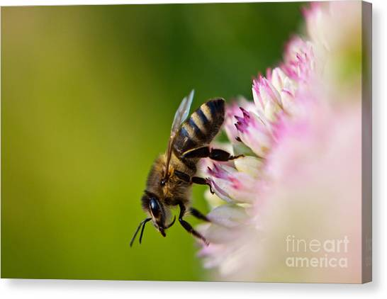 Bee Sitting On A Flower Canvas Print