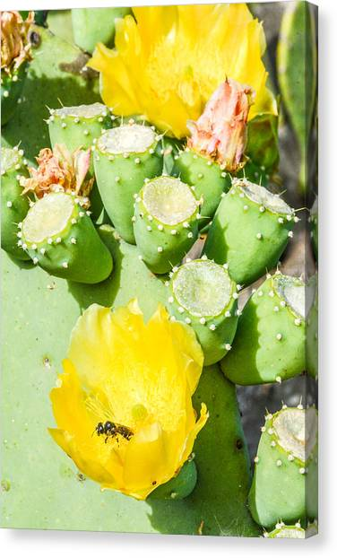 Bee Visits Cactus Blossom Canvas Print by Wally Taylor
