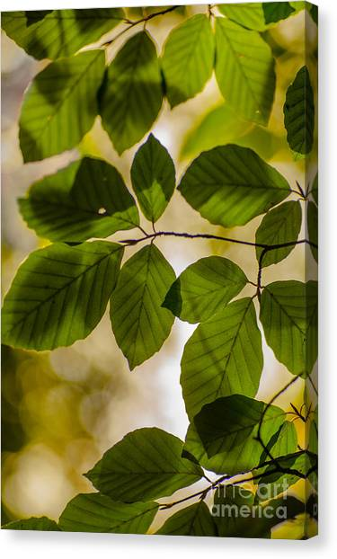 Beech Leaves And Bokeh Canvas Print