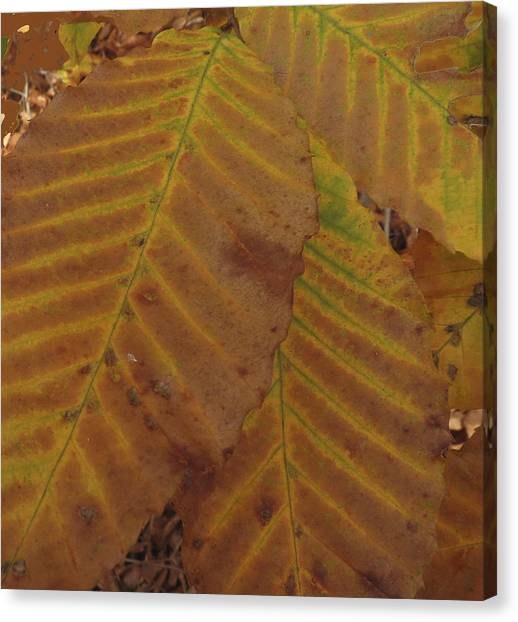 Beech Leaves Canvas Print
