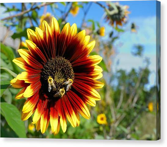 Sunflowers Canvas Print - Bees At Work by Jim Hughes