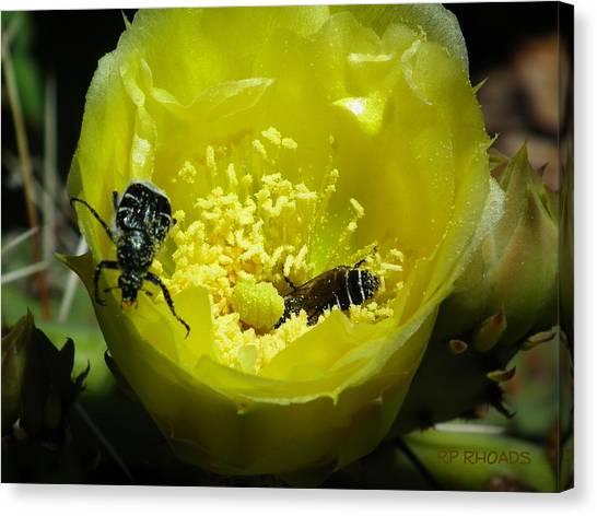 Pollinating Cacti Bloom Canvas Print