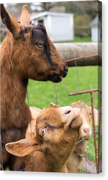 Canvas Print featuring the photograph Begging For A Bite by Priya Ghose