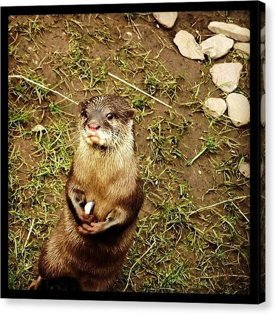 Otters Canvas Print - Begging Otter #otter #martinmere by Peter Edmondson