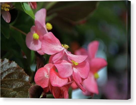 Begonia Beauty Canvas Print